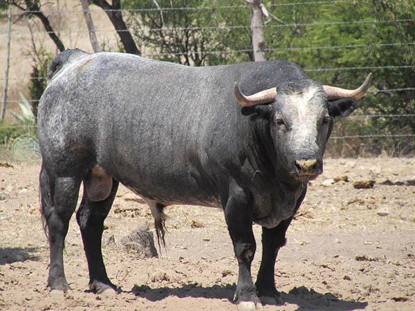 Reseñan los toros de San Fermín para Lagos