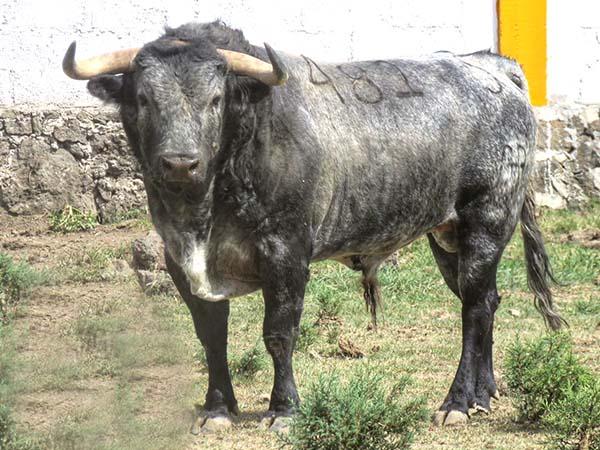 Los toros de El Vergel para Cinco Villas