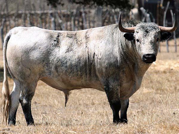Los toros de Tenexac para Tlaxcala